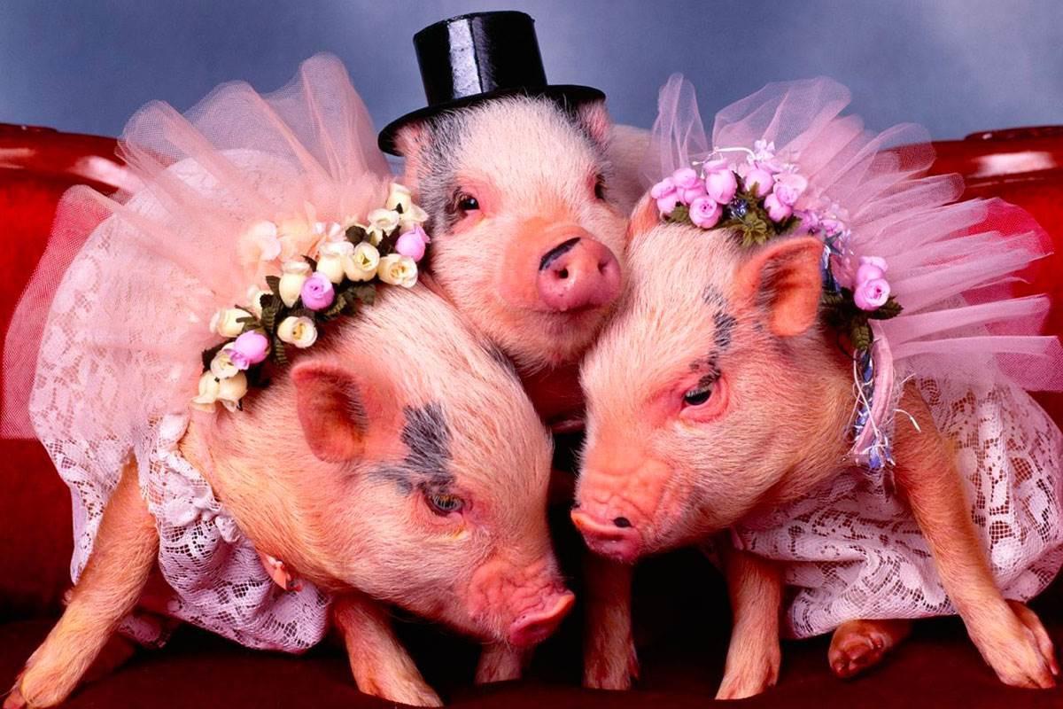 Прикольное видео поздравление с новым годом свиньи, смешны собак